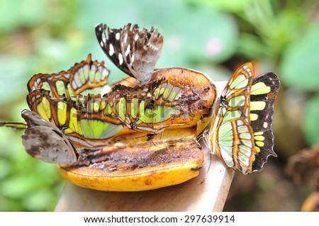 Butterflies on the banana, Ecuador - stock photo