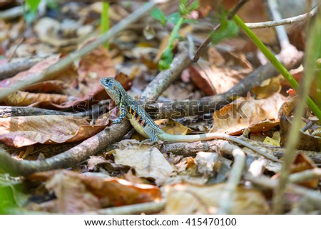 Butterfly Agama Lizard isolated  - stock photo