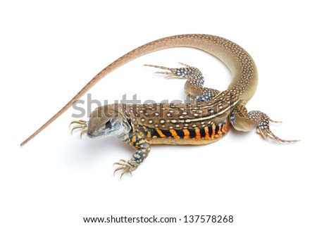 Butterfly Agama Lizard isolated on white background - stock photo