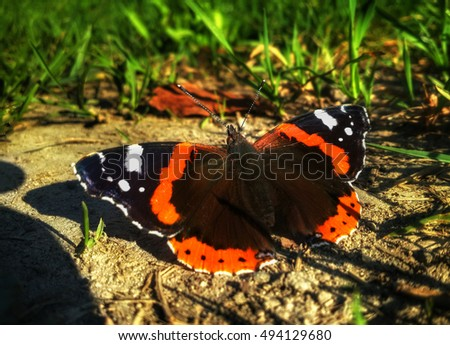 Butterfly Aglais urticae is sitting on the ground near the grass