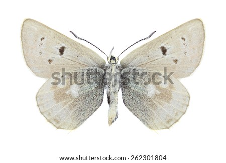 Butterfly Agriades pheretiades (female) (underside) on a white background - stock photo