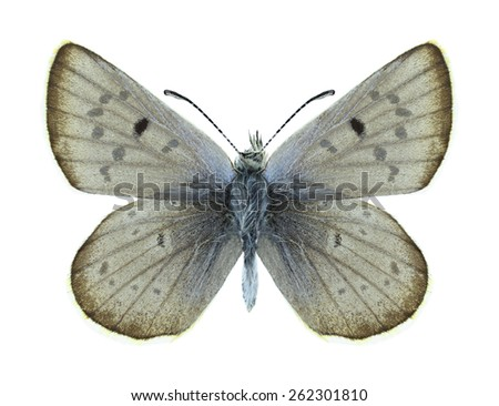 Butterfly Agriades pheretiades (male) on a white background - stock photo