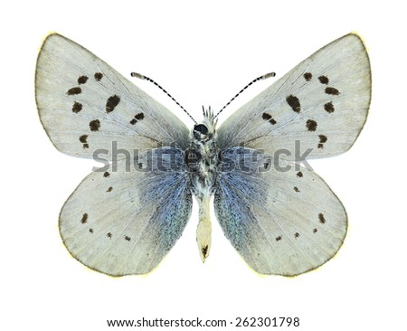 Butterfly Agriades pheretiades (male) (underside) on a white background - stock photo