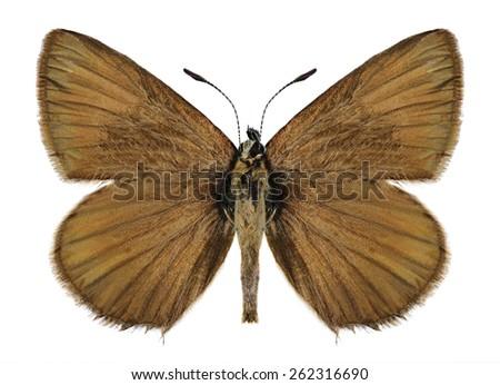 Butterfly Agrodiaetus damon (female) on a white background - stock photo