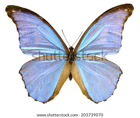 Butterfly America Morpho didus male (Clipping path) - stock photo