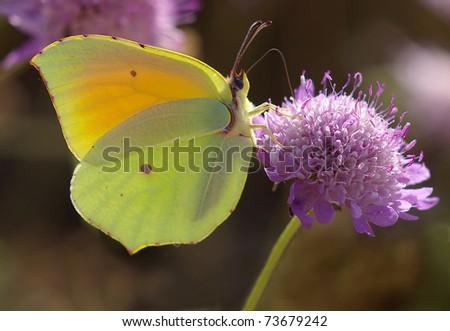 Butterfly and backlight.(Gonepteryx cleopatra) - stock photo