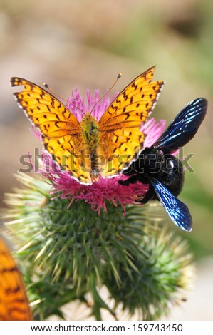 butterfly and bumblebee on a thistle flower  - stock photo