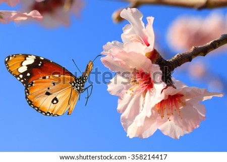 Butterfly and pink almond tree blossom