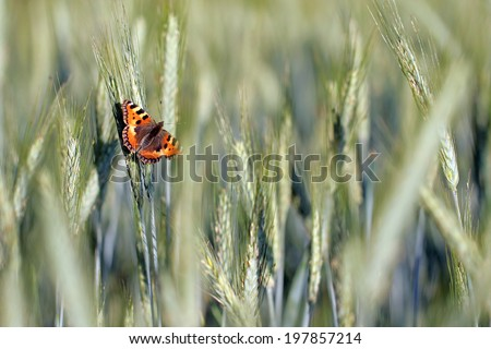 Butterfly and Wheat field close-up for your nature background.  - stock photo