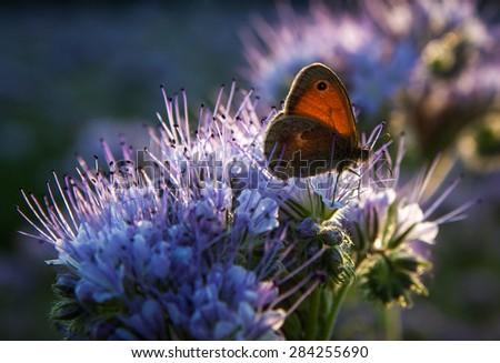 Butterfly (Aphantopus hyperantus - Nymphalidae) on Phacelia Tanacetifolia Flower at sunset - stock photo