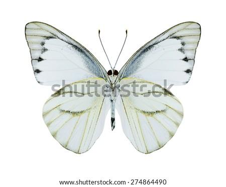 Butterfly Appias olferna (male) (underside) on a white background - stock photo