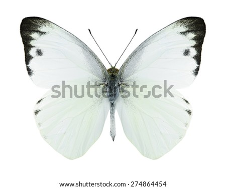 Butterfly Appias paulina (male) on a white background - stock photo