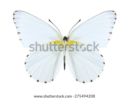 Butterfly Appias sabina (underside) on a white background - stock photo