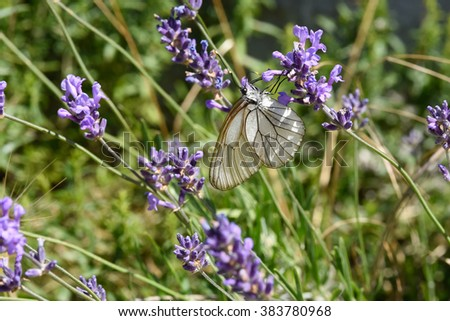 butterfly Black Veined White Aporia crataegi resting on a lavander flower