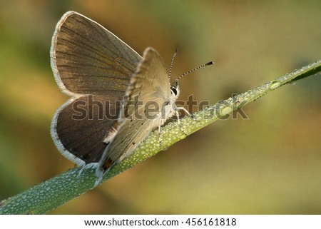 Butterfly blue  Aricia atraxerxes with dewdrops