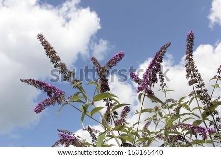 Butterfly bush against a blue sky, Netherlands - stock photo