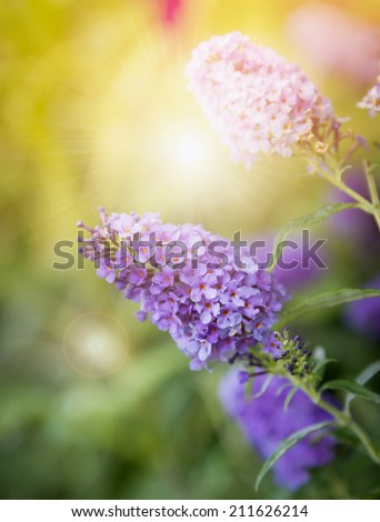 Butterfly Bush flowers in sunset - stock photo