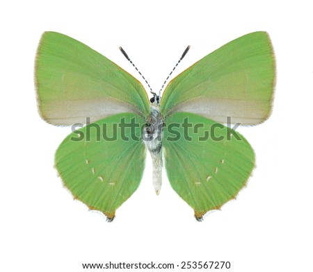 Butterfly Callophrys chalybeitincta (underside) on a white background - stock photo