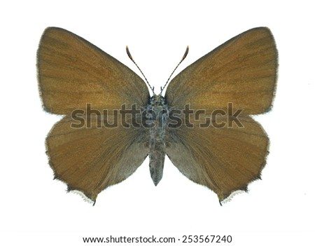 Butterfly Callophrys rubi on a white background - stock photo