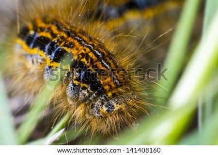 Butterfly Caterpillar Larva On The Stem - stock photo