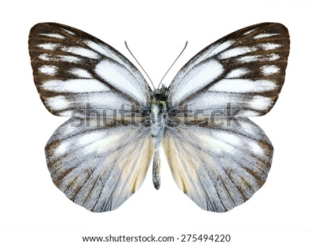 Butterfly Cepora timnatha (male) on a white background - stock photo