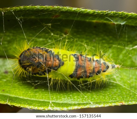 Butterfly chrysalis on a leaf, in thailand. - stock photo