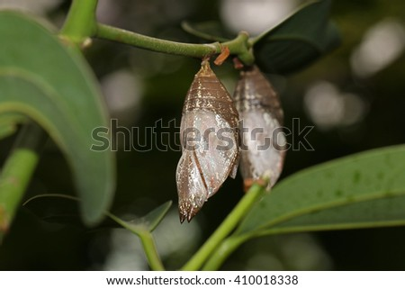 Butterfly cocoon - stock photo