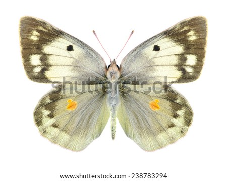 Butterfly Colias aurorina (female) on a white background - stock photo