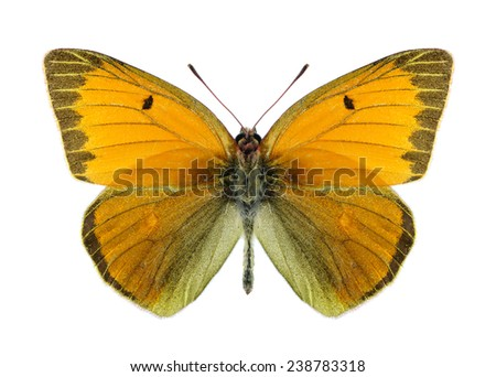 Butterfly Colias heos (male) on a white background - stock photo