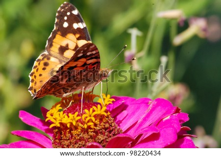Butterfly collecting nectar On Small Pink Flowers - stock photo