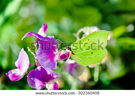 Butterfly collecting pollen on a flower. - stock photo