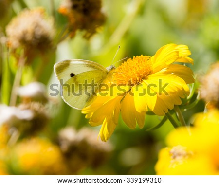 Butterfly collects pollen from a yellow flower - stock photo