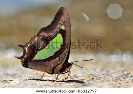 butterfly (Common Nawab)