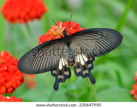 Butterfly (Common Rose) and flower , thailand