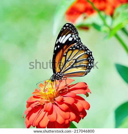 Butterfly (Common Tiger) and flower - stock photo