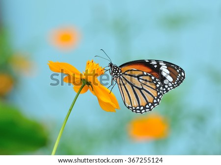 Butterfly (Common Tiger) and flower in nature - stock photo