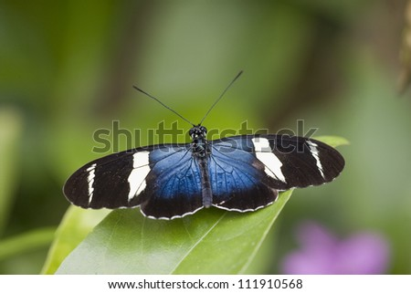 Butterfly, Costa Rica - stock photo