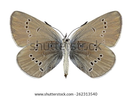 Butterfly Cyaniris semiargus (female) (underside) on a white background - stock photo