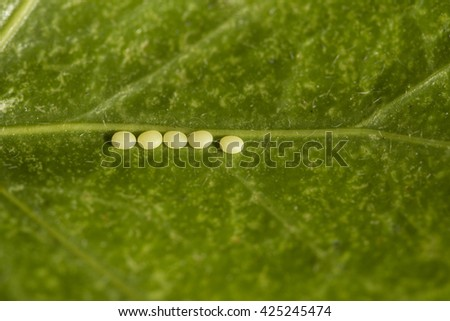 butterfly eggs on a leaf - stock photo