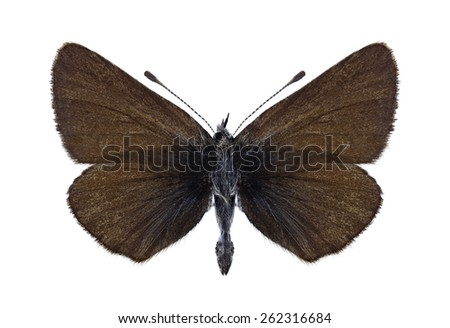 Butterfly Eumedonia persephatta on a white background - stock photo