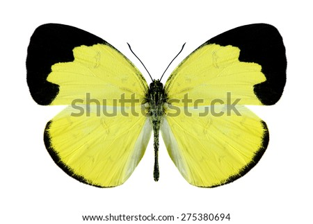 Butterfly Eurema ada (male) on a white background - stock photo