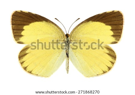 Butterfly Eurema brigitta (male) on a white background - stock photo