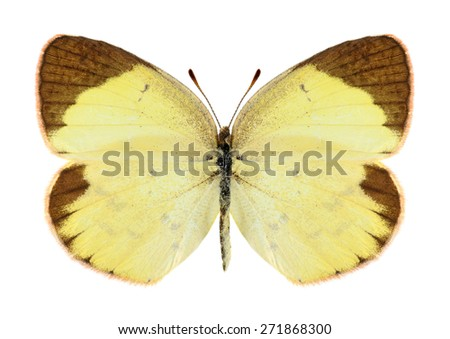 Butterfly Eurema lisa (female) on a white background - stock photo
