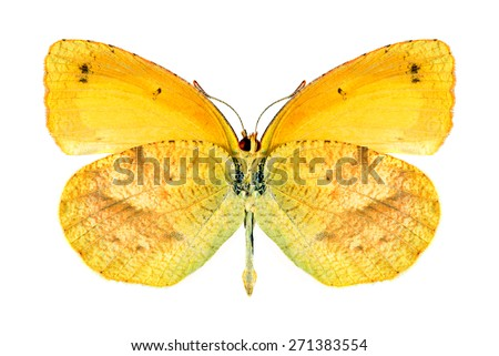Butterfly Eurema nicippe (female) (underside) on a white background - stock photo