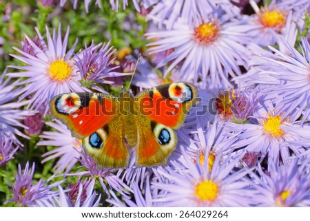 Butterfly european peacock (Aglais io) perching on purple blossom - stock photo