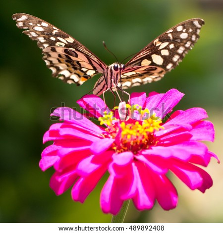 Butterfly feeding on a bright pink flower (focus on butterfly drinking)