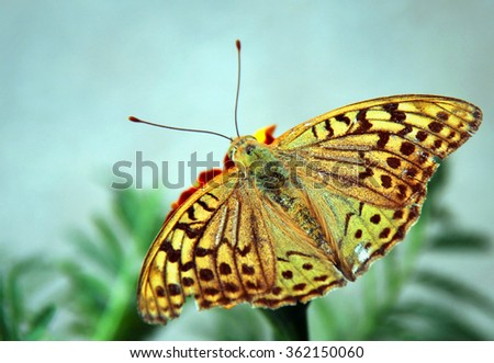 Butterfly feeding on a orange flower in morning nature