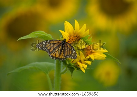Butterfly  feeding on a sunflower - stock photo