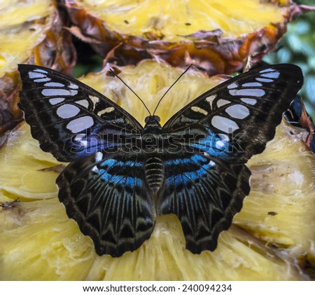 Butterfly feeding on pineapple in Singapore. - stock photo