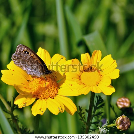 Butterfly feeding on yellow flower nectar. Spring background. - stock photo